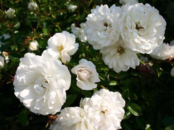 Chiêm bao thấy hoa màu trắng nên đánh số đề con bao nhiêu