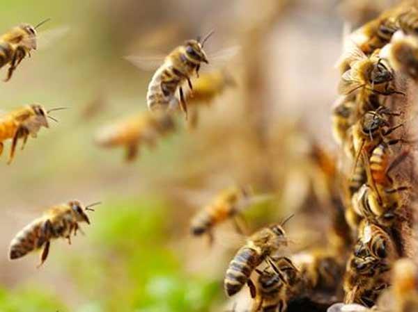 Mơ thấy ong mật nên đánh số đề con bao nhiêu?