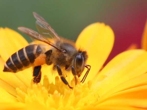 Chiêm bao thấy ong mật nên đánh số đề con bao nhiêu?