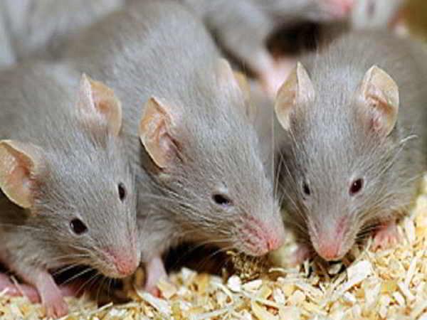 Chiêm bao thấy chuột nên đánh con gì
