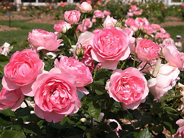 Mơ thấy hoa hồng đánh con gì trúng lớn