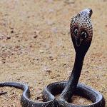 Mơ thấy rắn hổ mang đánh con gì trúng lớn và đem lại nhiều tài lộc