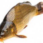Ngủ mơ thấy cá chép là điềm báo hên hay xui ? Đánh đề con gì trúng ?