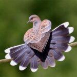 Mơ thấy chim cu gáy và những bí ẩn bất ngờ phía sau nó