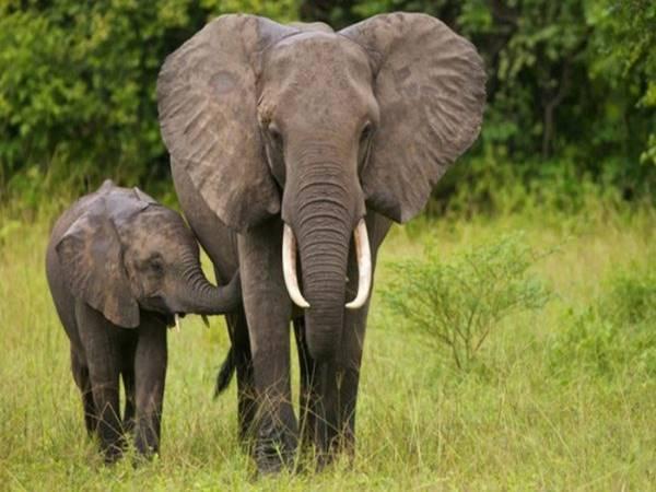 Mơ thấy con voi điềm báo lành hay dữ?