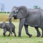 Mơ thấy con voi điềm báo lành hay dữ? Đánh con gì chính xác?