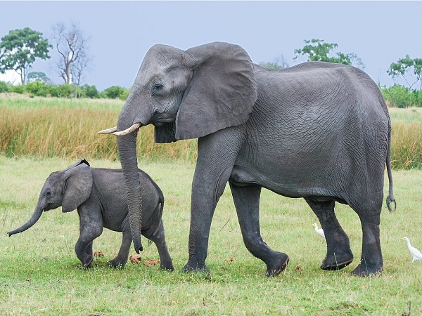 Mơ thấy con voi đánh con gì chính xác?